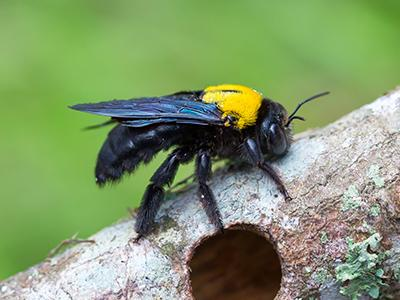 carpenter bee drilling holes in nearby tree