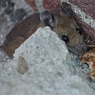 mouse outside a brick building in augusta