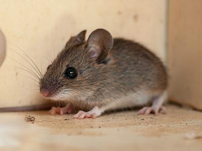 house mouse on a Maine homes kitchen table