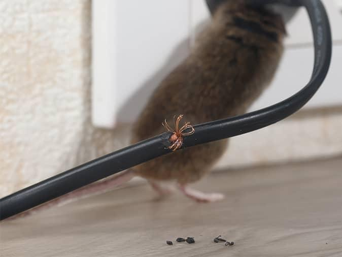house mouse in maine home chewing on electrical wires