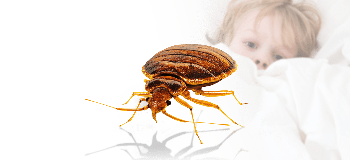 get rid of bed bugs in maine