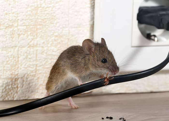 a mouse chewing through a wire inside a maine home