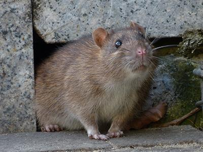 norway rat infesting a maine home