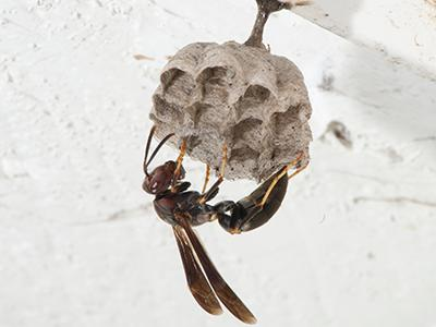 paper wasp on a nest inside a maine home