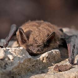 little brown bat found near lewiston maine