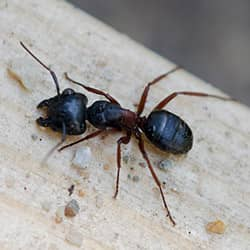large red and black carpenter ant in a maine home