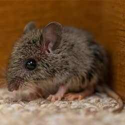 small house mouse in an auburn me home