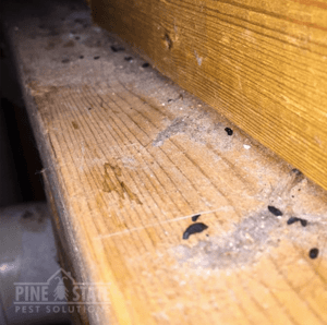 mouse droppings on a board in a maine home