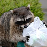 raccoon on trash can with trash bag