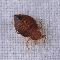 a bed bug crawling on sheets in a saco maine home