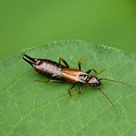 an earwig crawling on a leaf in waterville maine