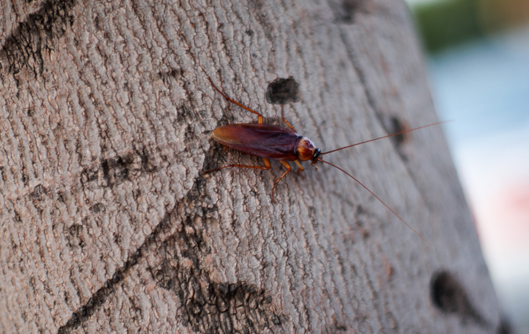 american cockroach on a tree in grove texas yard