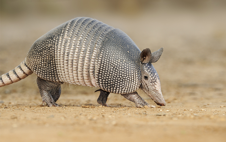 armadillo in grove texas