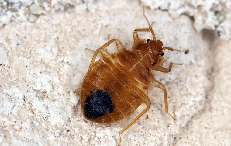 a bed bug in the dust within a florida home
