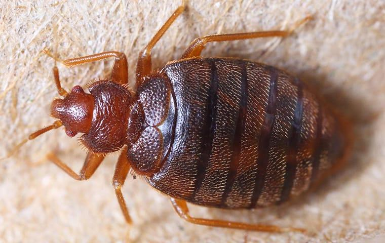 bed bug crawling on furniture in spurger texas