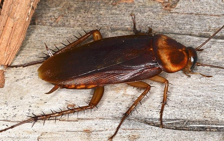 an american cockroach crawling along a long white washed farmhouse table inside of a residential home during fall season