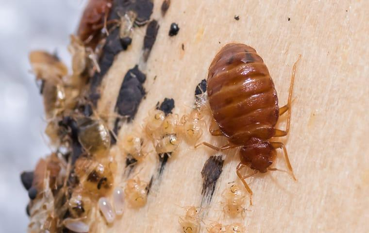 a massie bed bug infestation in a beaumount texas home during fall season
