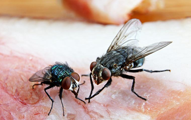 a cluster of flies infesting meat as it is defrosting on a beaumont kitchen counter top