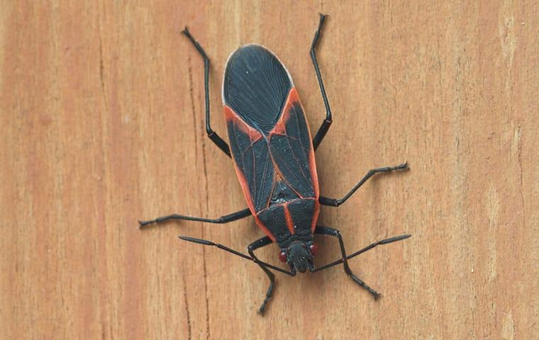 a  boxelder bug crawling down a beaumont texas residents wall