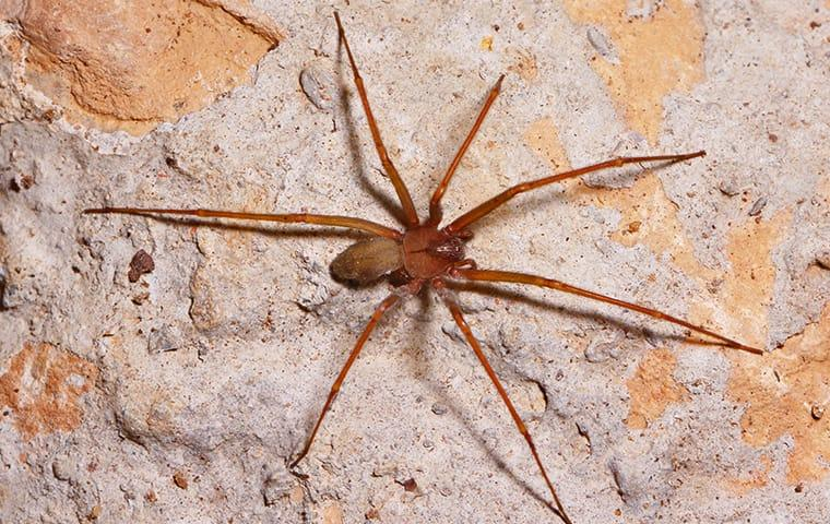 a brown recluse spider crawling along a stone wall in a beaumont texas basement