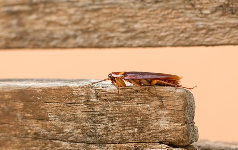 an american cockroach crawling along a butcher block in a beaumont texas kitchen