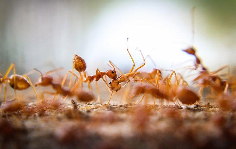 a swarm of fire ants on a sand hill