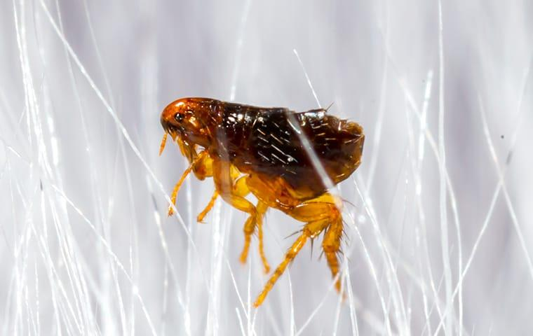 a port auther texas pest infested with fleas