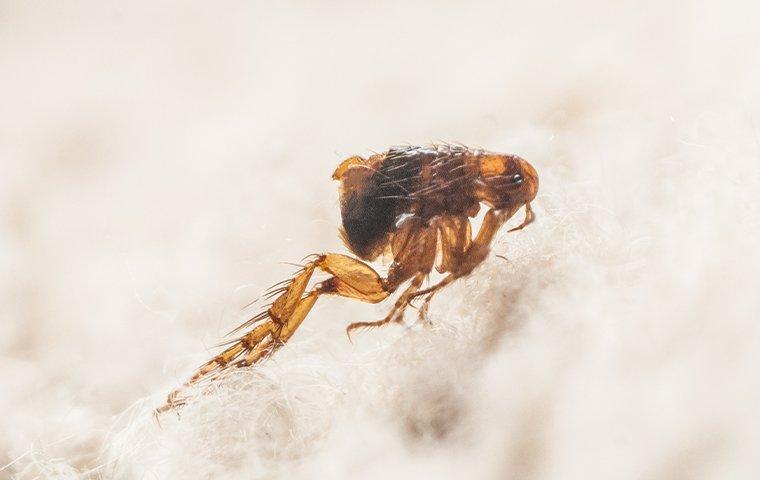 a flea jumping from pet hair