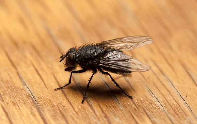 a flie among ment house flies resting on the wooden kitch table in a beaumont texas home