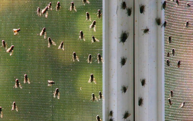 a cluster of house flies on a beaumont texas window screen