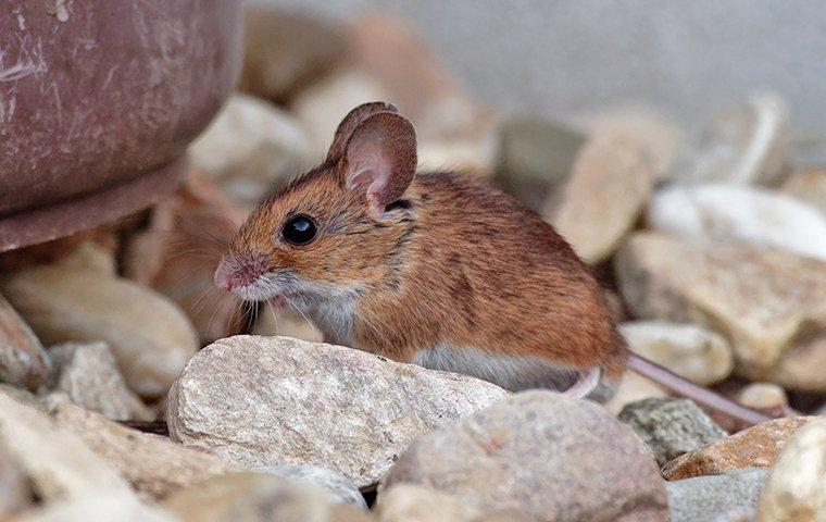 house mouse infesting home landscaping