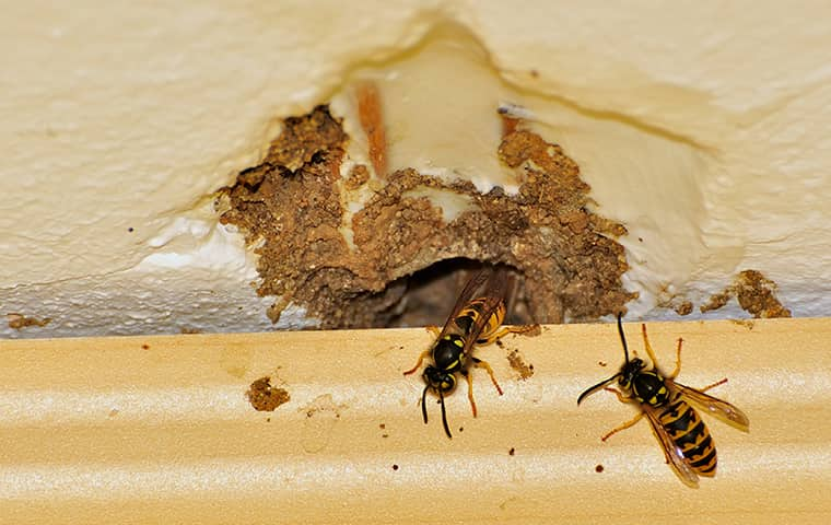 two wasps entering a home in southeast texas through a hole in the wall