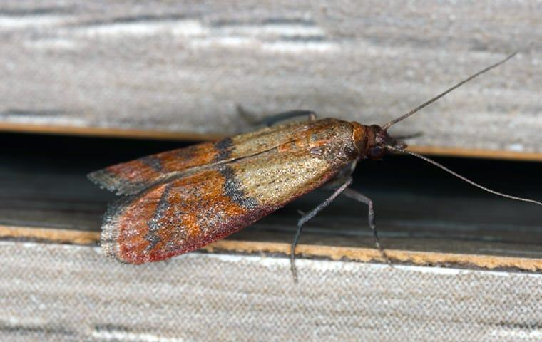 indian meal moth in beaumont home