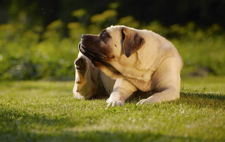 a great mastiff breed dog perfusly scratching at his fleas on a beaumont property on a sunny summer day