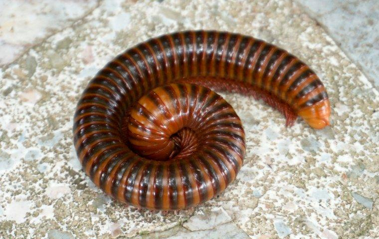 a millipede curled up on a patio