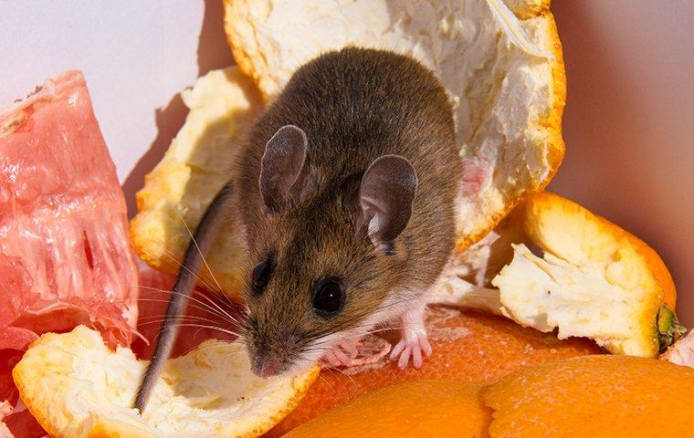 a mouse crawling in the food in the garbage