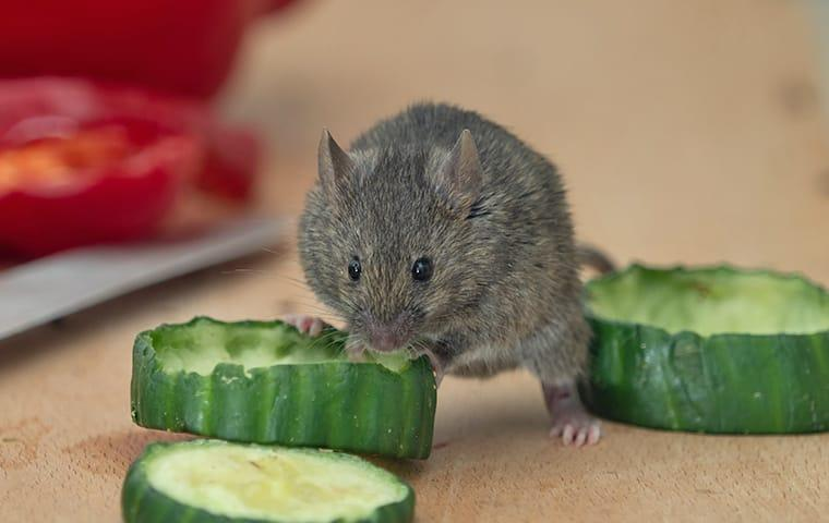 a mouse eating cucumber slices