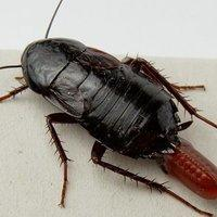 oriental cockroach and egg