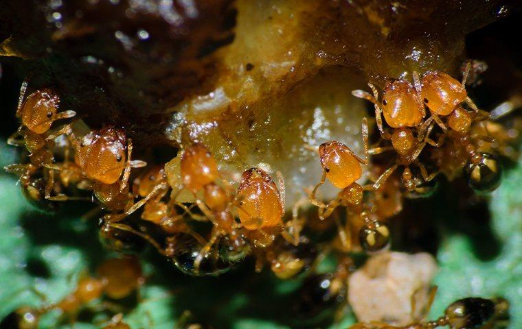 Pharaoh ants crawling on food.