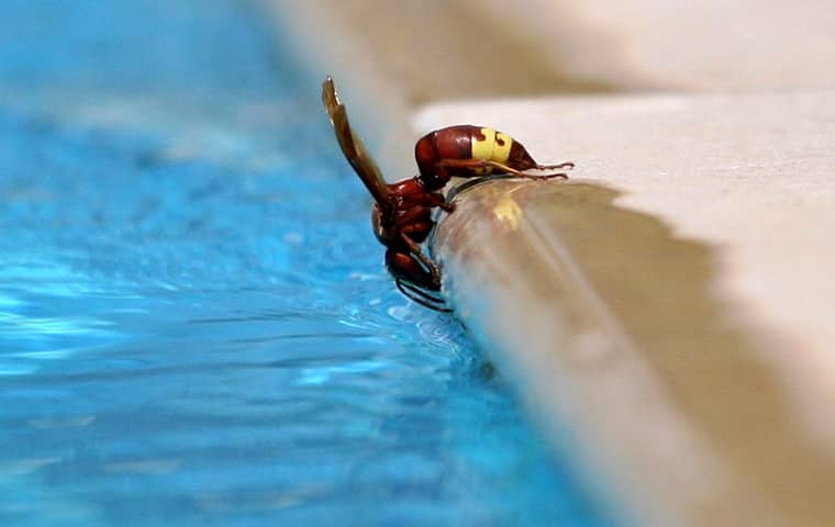 a hornet drinking from an outdoor pool in southeast texas