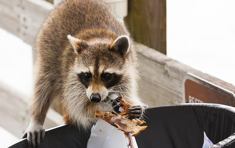 a raccoon digging through the trash ouside of a beaumont texas home