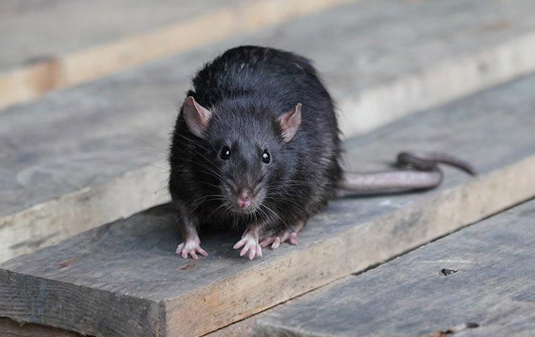 a roof rat crawling on wood