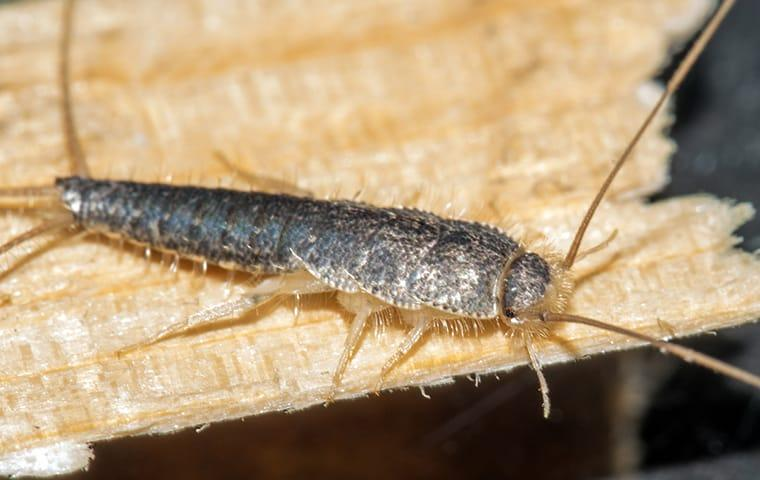 a silverfish destroying a home library