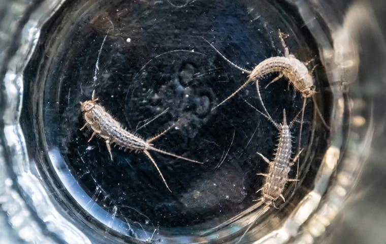 silverfish in a drinking glass