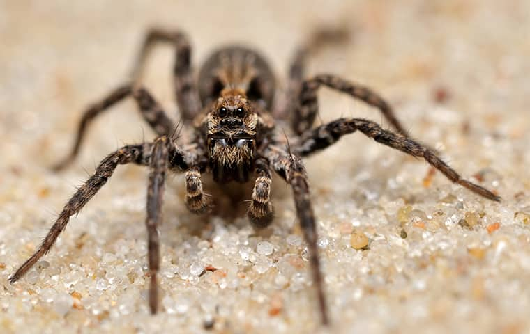 a wolf spider crawling across the floor of a home in texas
