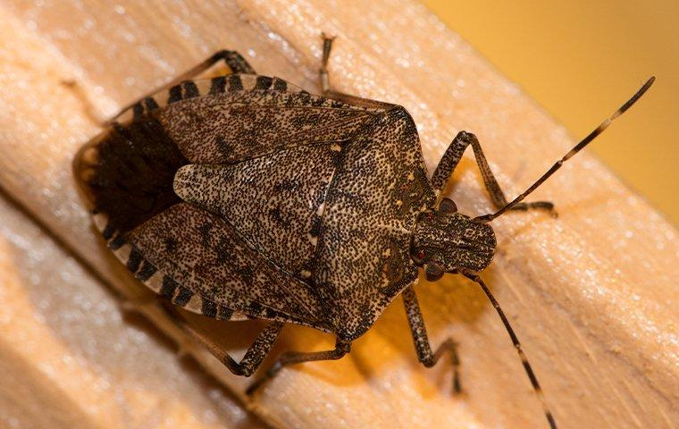 stink bug crawling on wood trim