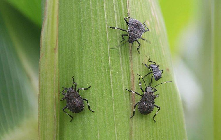 a cluster of stink bugs on a leaf