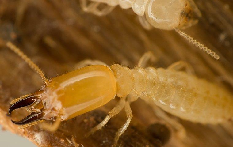 an up close image of a subterranean termite on a piece of wood