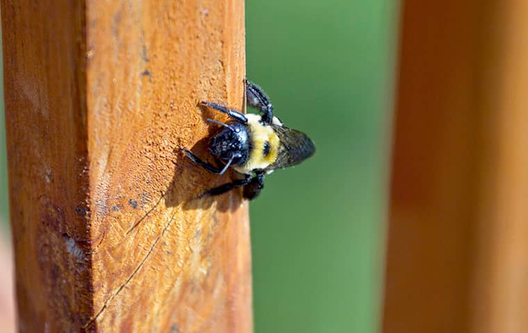 a carpenter bee on a wooden post on the exterior of a home in southeast texas