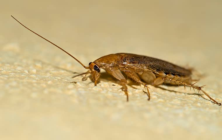 a german cockroach crawling on the floor of a home in southeast texas